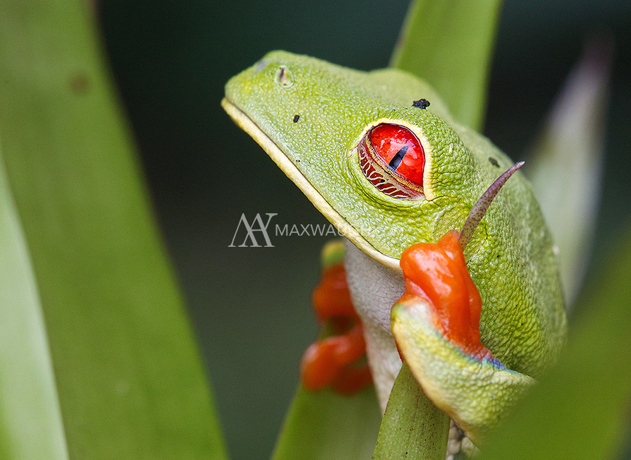 The fascinating eyelid of the red-eyed tree frog offers some shade and protection.