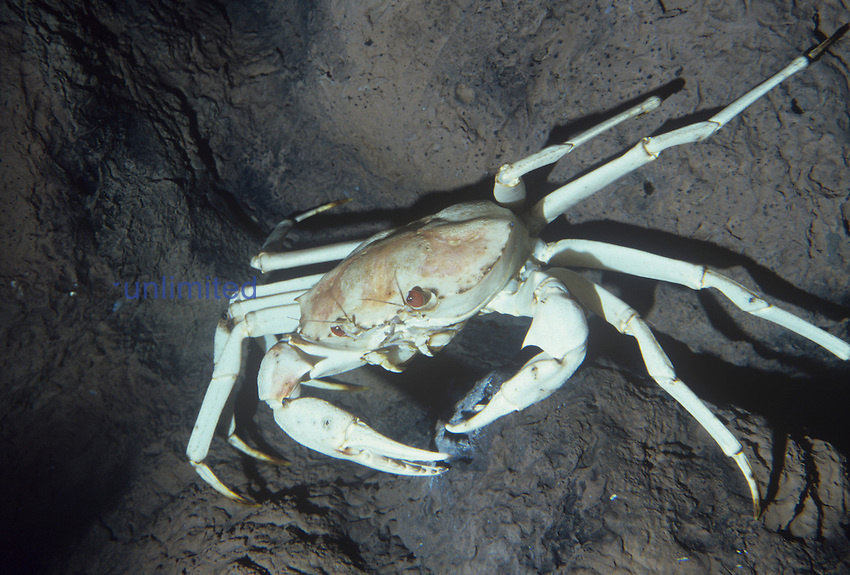 Deep-sea Golden Crab (Chaceon fenneri), 1800 feet in the Gulf of Mexico.
