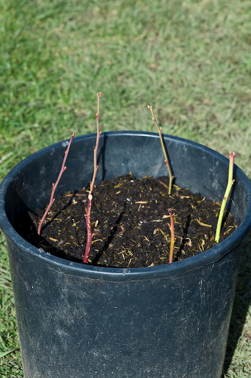 Blueberry cuttings planted in a container of ericaceous potting compost.