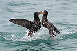 Northern Giant Petrel (Macronectes halli) pair fighting, Kaikoura, South Island, New Zealand, sequence 2 of 5