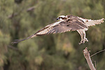 Guerroro Negro, Baja California Sur, Mexico; an osprey taking flight from a dead tree branch with green trees in the background