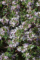 Daphne x burkwoodii 'Carol Mackie' in fragrant spring bloom