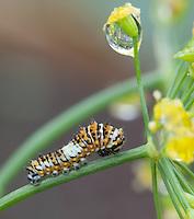Black Swallowtail caterpillar; Papilio polyxenes; on Dill, Anethum graveolens; PA, Philadelphia, backyard