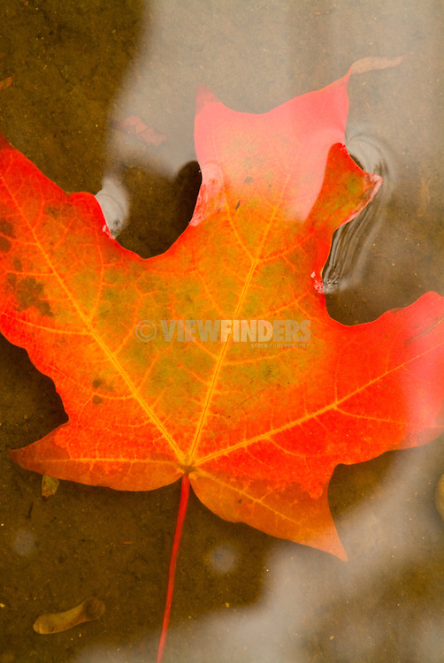 Fall leaf floating in water detail