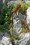 Juvenile Spanish Ibex descending down steep rock face,Andalucia, Spain ( capra pyrenaica )