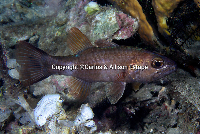 Cheilodipterus singapurensis, Singapore cardinalfish, Raja Ampat, Indonesia