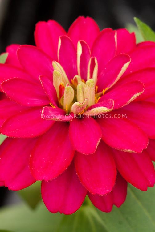 Zinnia Zahara Double Cherry, double flowered hot pink annual flowers