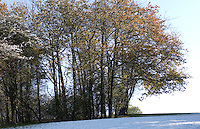 Still golden trees in Hedgemoor stand on the crest of a ridge while snow covers the ground below after a rare October snow fall, south east of Great Missenden, Buckinghamshire, England
