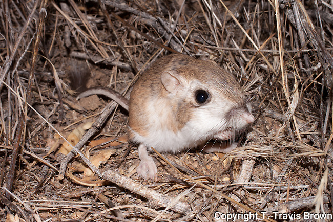 Desert Kangaroo Rat (Dipodomys deserti)