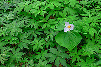 ORPTT_D109 - USA, Oregon, Tryon Creek State Natural Area, Western Trillium (Trillium ovatum) in bloom on forest floor surrounded by leaves of Pacific Waterleaf (Hydrophyllum tenuipes).