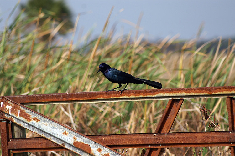 A male grackle shines in the sun.