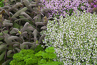 Thymus 'Porlock', Salvia officinalis, Petroselinum (Parsley), Thymus (white) herbs