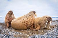 Atlantic walrus, Odobenus rosmarus rosmarus, herd, resting on the beach, Poolepynten, Prins Karls Forland, Svalbard, Norway, Atlantic Ocean