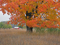 Sleeping Bear Dunes National Lakeshore, MI: Fall maple tree in a field with the Kelderhouse barn in the distance in the Port Oneida Historic District