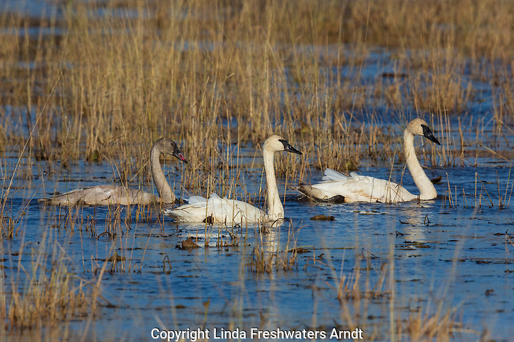 Trumpeter swans swimming on Phantom Lake in Crex Meadows Wildlife Area.