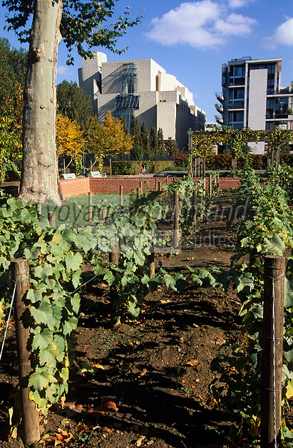 Europe/France/Ile-de-France/75012/Paris : La vigne dans le parc de Bercy