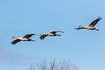 Family of sandhill cranes flying over Crex Meadows Wildlife Area.