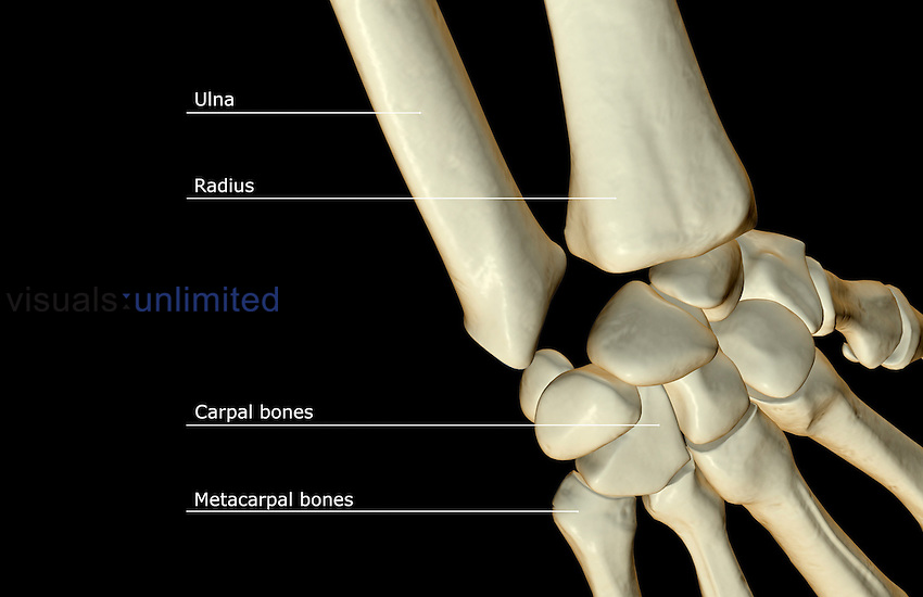 A posterior view of the bones of the wrist. Royalty Free