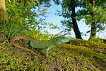 Sand Lizard male (Lacerta agilis), Switzerland