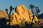 Joshua Trees and golden rock outcrop at sunset, near Hidden Valley, Joshua Tree National Park, California