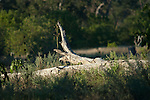 MOREMI GAME RESERVE, BOTSWANA - MAY 18, 2010: The Moremi Game Reserve is a National Park in Botswana and lies eastern of the Okavango Delta. (Photo by Dirk Markgraf)