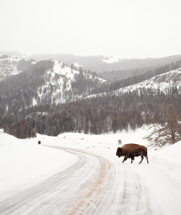 An individual buffalo crosses the north road of Yellowstone National Park.