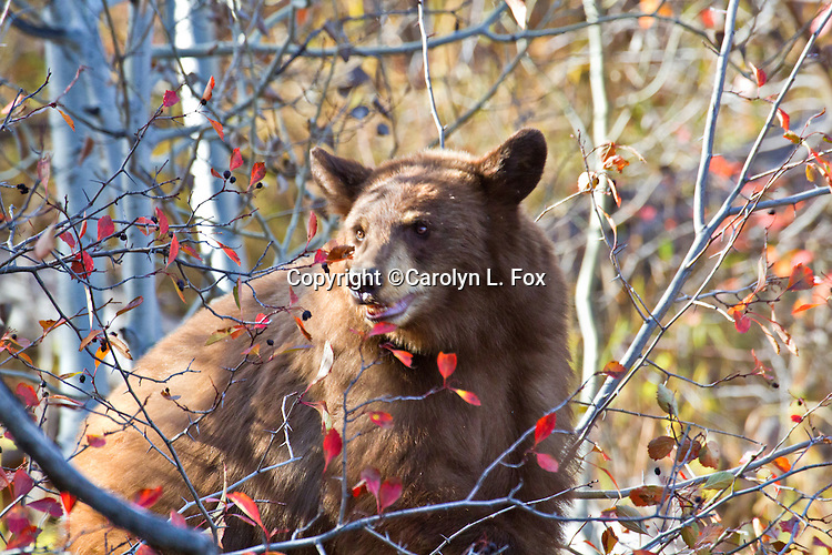 A young black bear eats huckleberries next to a road in Jackson Hole, Wyoming.