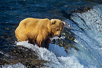 Coastal grizzly or alaskan brown bear (Ursos arctos), Brooks Falls, Katmai National Park, Alaska.  Summer.