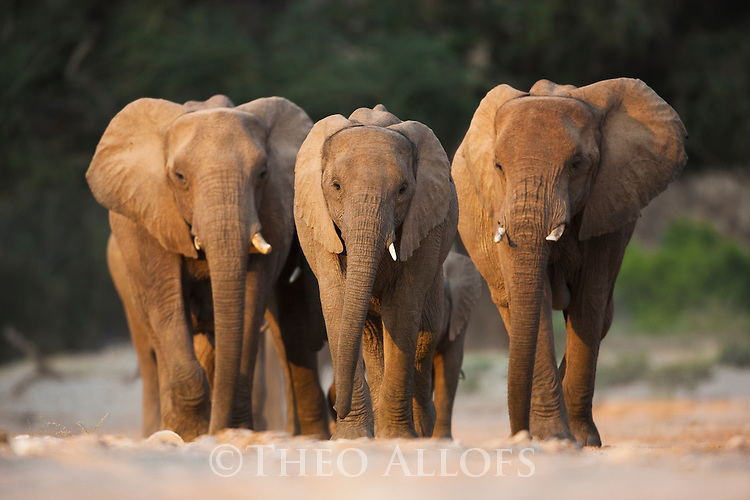 Namibia;  Namib Desert, Skeleton Coast,  desert elephant  (Loxodonta africana) breeding herd walking in dry river bed