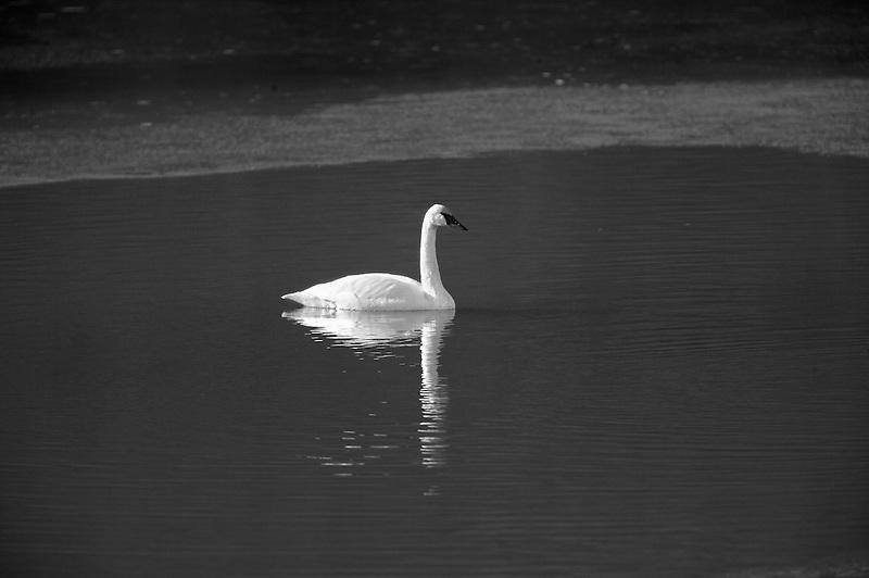 Adult Trumpeter Swan (Cygnus buccinator) . Owhyee River. Oregon