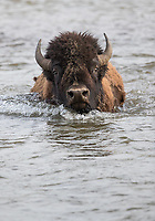 A bison fords the Lamar River.