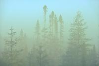 Trees in fog at sunrise <br />Chibougameau<br />Quebec<br />Canada
