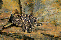 Northern Pacific Rattlesnake..British Columbia to California..Crotalus viridis oreganus.