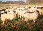Flock of sheep grazing on drained marshland fields at Gedgrave, Suffolk, England