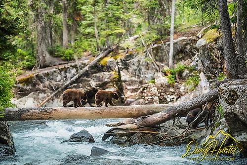 Black Bear cubs crossing log over Cascade Creek
