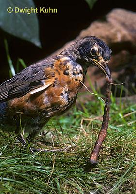 RO07-001z  American Robin - young catching prey, a  worm - Turdus migratorius