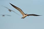 Black Skimmer (Rynchops niger) trio flying, Amelia Island, Florida