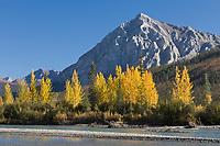 Mount Dillon and Balsam Poplar trees along the Koyukuk river in Arctic Alaska.