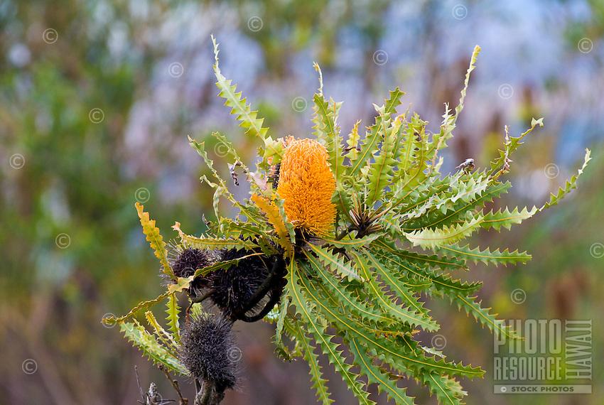 One of the many beautiful plants in the gardens of Alii Kula Lavender farm at the base of Haleakala, Kula