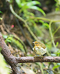Ochre-breasted antpitta, Grallaricula flavirostris, at Refugio Paz de las Aves, Ecuador. Listed as Near Threatened on the IUCN Red List of Threatened Species.