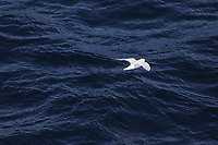 Bird, Snow Petrel, Pagodroma nivea, in flight. One of only three bird species that breed exclusively in Antarctica<br /> South orkney islands Scotia Sea, Southern Ocean, Antarctica