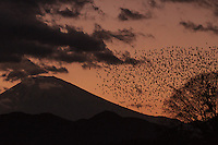 Starlings flock in front of Mount Fuji at sunset. Matsuda, Kanagawa, Japan. Saturday December 19th 2015