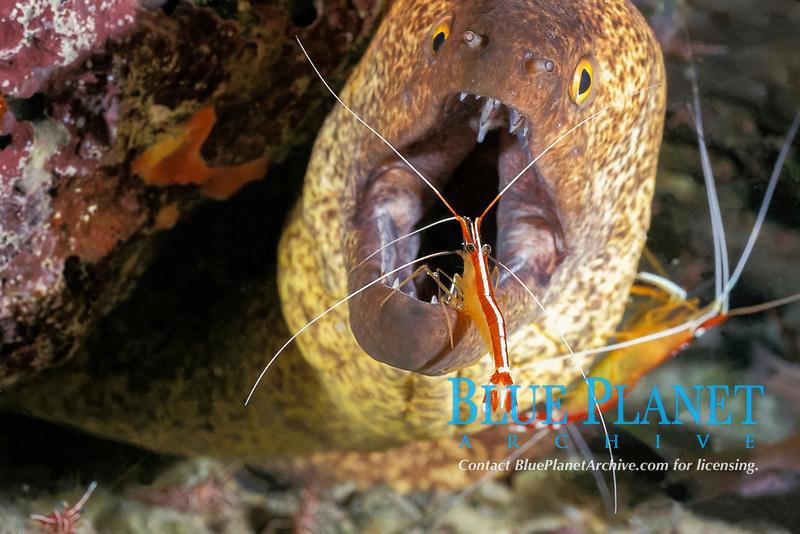 yellow-edged moray, yellowmargin moray eel, Gymnothorax flavimarginatus, being cleaned by humpback cleaner shrimp, Lysmata amboinensis, Mabul Island, Sabah, Borneo, Malaysia