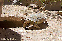 0609-1037  Desert Tortoise Near Entrance to its Burrow (Mojave Desert), Gopherus agassizii  © David Kuhn/Dwight Kuhn Photography