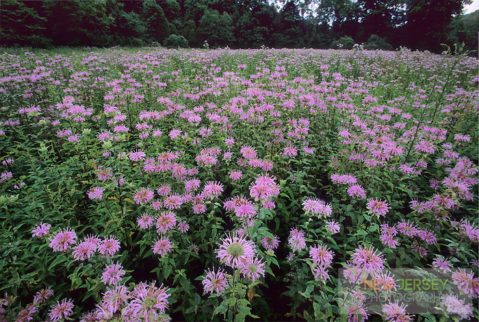 Meadow of Spotted Knapweed Wildflowers, Delaware Water Gap, New Jersey