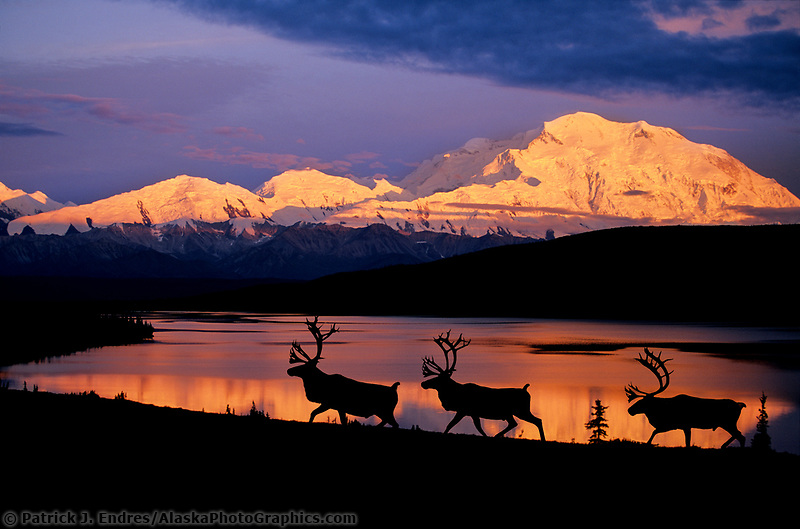 DIGITAL COMPOSITE: Bull Caribou, Wonder Lake, Alpenglow on north face of Denali, Denali National Park, Alaska