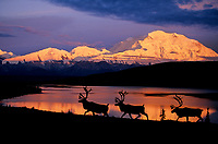 DIGITAL COMPOSITE: Bull Caribou, Wonder Lake, Alpenglow on north face of Denali, Denali National Park, Alaska