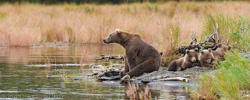Brown bear sow with triplet spring cubs, Katmai National Park, Alaska.