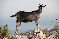 Stock photos of Mountain goats in the Dalamtian hills - Dubrovnik, Croatia