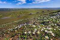 Mountain aven wildflowers and geological formations along Archimedes ridge, Utukok Uplands, National Petroleum Reserve Alaska, Arctic, Alaska.